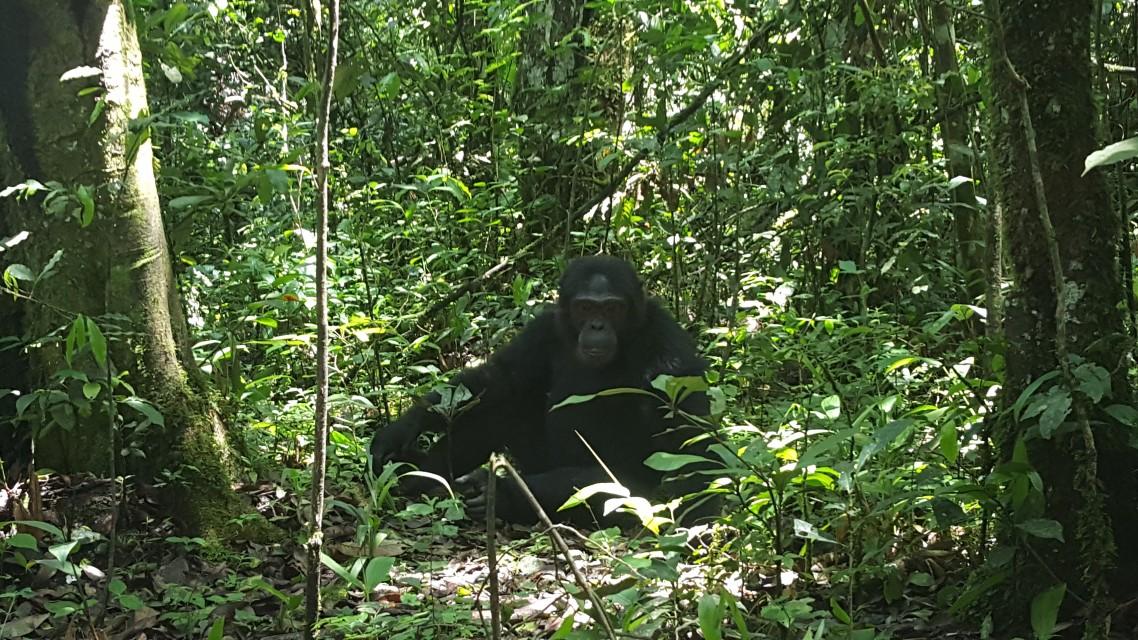 Chimpanzee in Uganda