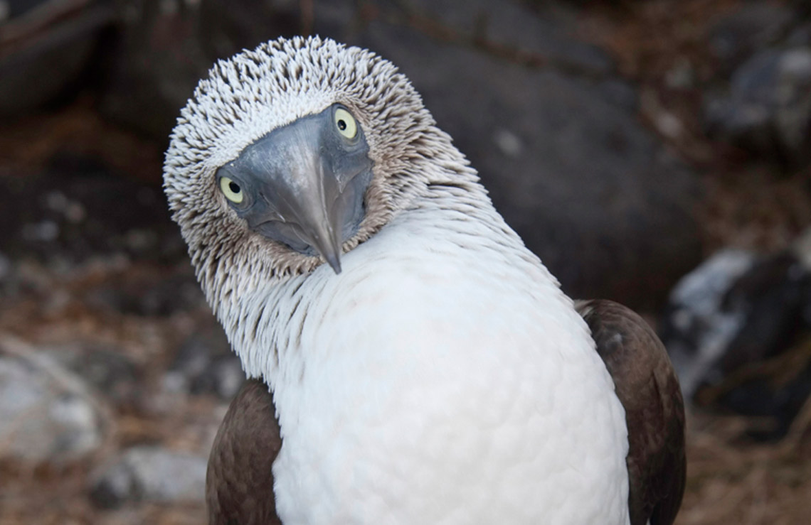 galapagos-2-blue-footed-booby.jpg-nw